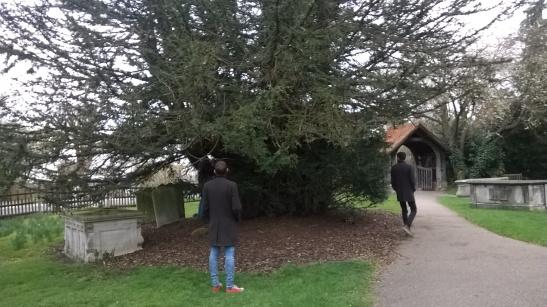Ancient yew, St  Andrews Totteridge